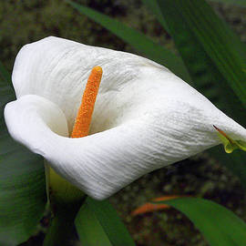 White Calla Lily 2 by Jerry Griffin