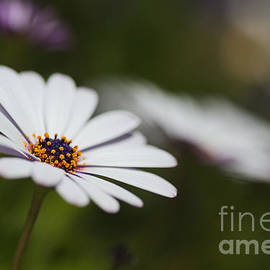 White Cape Daisy by Joy Watson