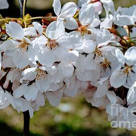 White Cherry Blossoms - Prints - Puzzles - and More by Miriam Danar
