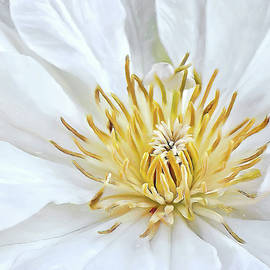 White Clematis by Marcia Colelli