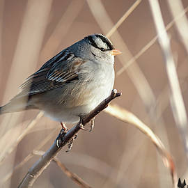 White-crowned Portrait by David Cutts