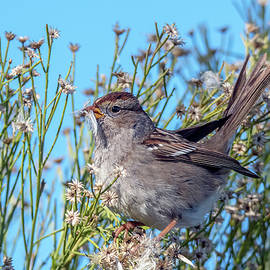 White-crowned Sparrow 9535-020720-2 by Tam Ryan