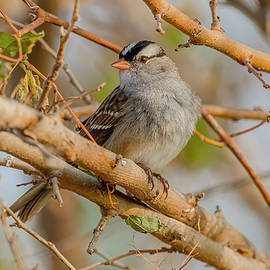 White Crowned Sparrow In Autumn #2 by Morris Finkelstein