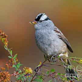 White-crowned Sparrow by Nina Stavlund