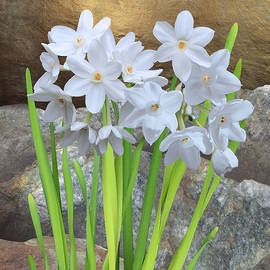 White Daffodil and Rock by Spadecaller