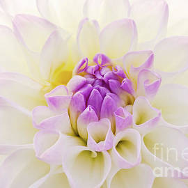 White Dahlia by Angela Doelling AD DESIGN Photo and PhotoArt