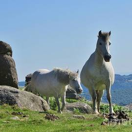 White Dartmoor Ponies At Houndtor, UK by Lesley Evered