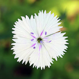 White Dianthus by Stamp City