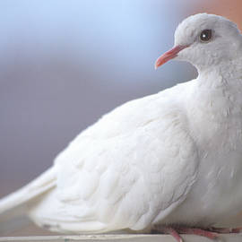 White Dove in Melbourne by Jerry Griffin
