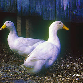 White Duck Pair by Old Barn by Claudia O'Brien