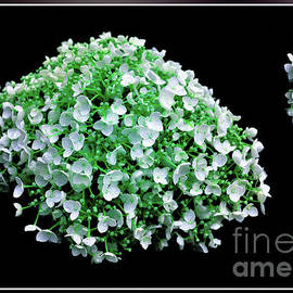 White emerald Hortensia by Chris Bee Photography