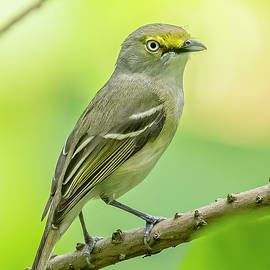 White Eyed Vireo Perched by Morris Finkelstein