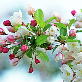 White Flowering Crabapple by Debbie Oppermann