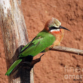 White-fronted Bee-eaters by Bunny Clarke
