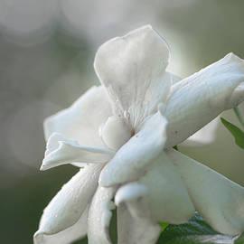 White gardenia flower by Karen Rispin