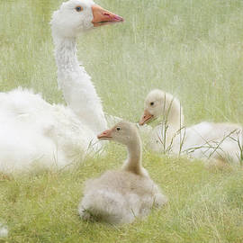 White Goose and Goslings Family Gathering by Peggy Collins