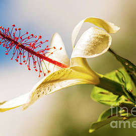 White Hibiscus in Sunny Hawaii by Phillip Espinasse