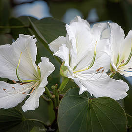 White Hong Kong Orchids by Teresa Wilson