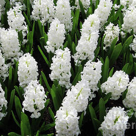 Heavenly Hyacinths by Kathryn Jones