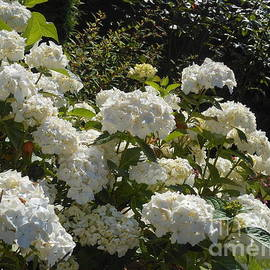 White Hydrangeas in Sunshine by Kathryn Jones
