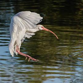 White Ibis Final Approach by Dawn Currie