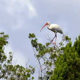 White Ibis in Treetop by Carla Parris