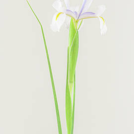 White Iris by Hugh Warren