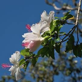 White Koki'o Ke'oke'o Branch by Heidi Fickinger