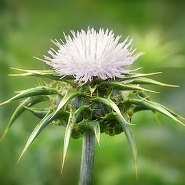 White Milk Thistle by Maria Meester