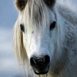 White miniature pony Wareham Dorset by Loren Dowding