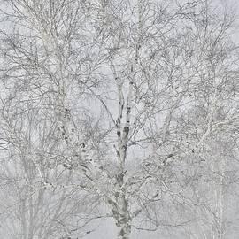 White on White Birch by Greg Hayhoe