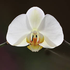 White Orchid by Ana Dawani