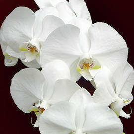 White Orchid by Marcia Colelli