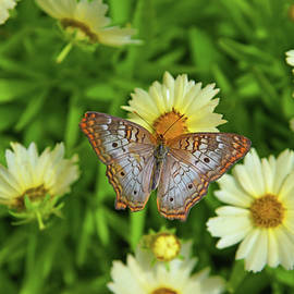 White Peacock Butterfly On Flowers by Robert Tubesing