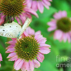 White Peacock Supping by Julieanne Case