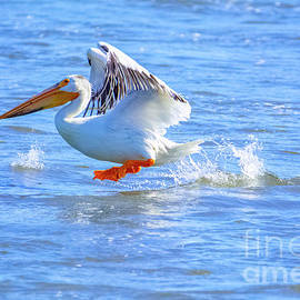 White Pelican on Yakima River #2 by William Meeuwsen