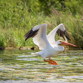 White Pelican Takeoff by Patti Deters