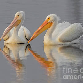 White Pelicans by Dale Erickson
