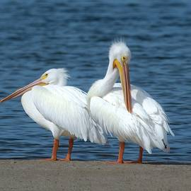 White Pelicans by Rebecca Herranen