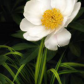 White Peony in Macro by Mike Nellums