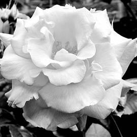 White Perfection Rose 43 BW by Lynne Iddon