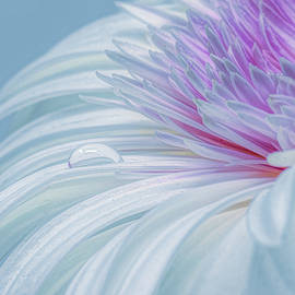White, Pink and a Drop by Sandi Kroll