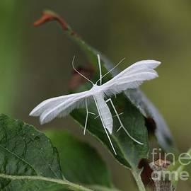 White Plume Moth by Linda De Klein