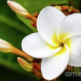 White Plumeria Flower by Phillip Espinasse