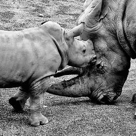 White Rhinoceros And Calf  by Neil R Finlay