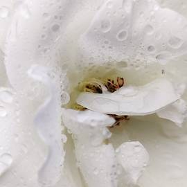 White rose after the rain by Chirila Corina