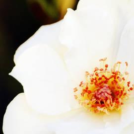 White Rose Close Up by Gaby Ethington