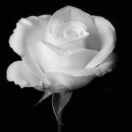 White rose by Turid Bjornsen