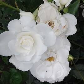 White roses by Baby Akter