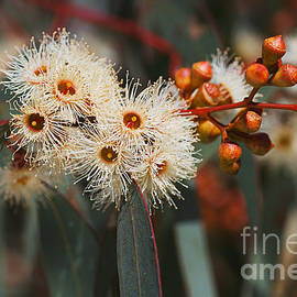 White Snowflake Eucalyptus Flowers by Joy Watson